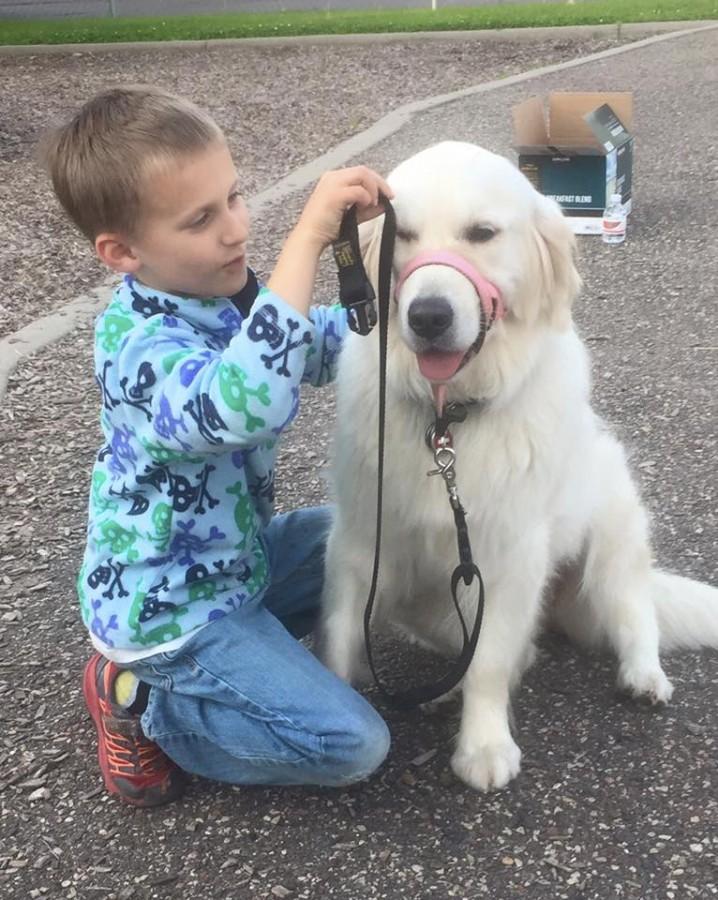 golden retriever therapy dog