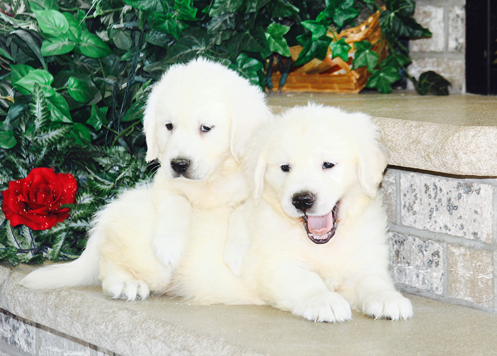 golden retriever puppies on steps