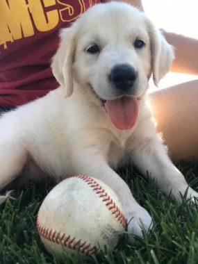A Golden Retriever puppy in the grass with a baseball.